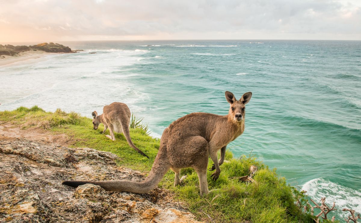 Stradbroke Island kangaroos over Frenchman's beach
