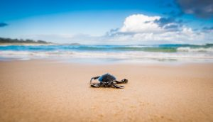North Stradbroke Island turtle hatching | Stradbroke Island Photography