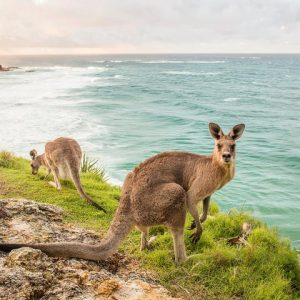 kangaroos on the headland | stradbroke island |